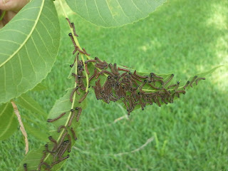 Walnut caterpillars third instar. Photo by Bill Ree.