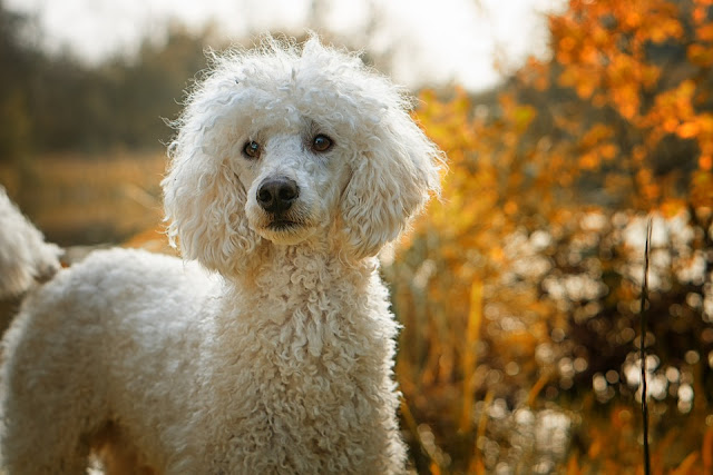 Poodles – Smart Active and Proud