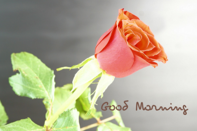 Good morning free rose images download
