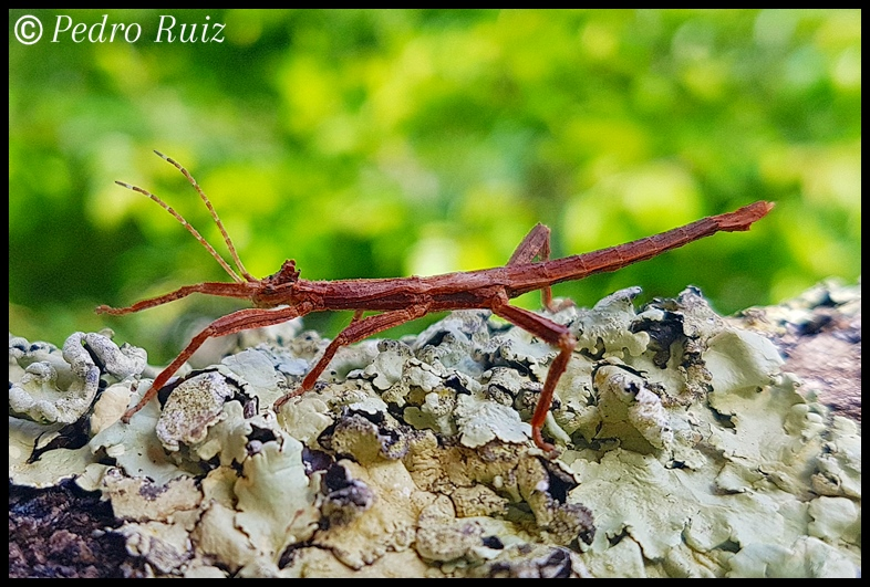 "Ninfa macho L4 de Hesperophasma sp. ""La Cienaga"", 3,3 cm de longitud"
