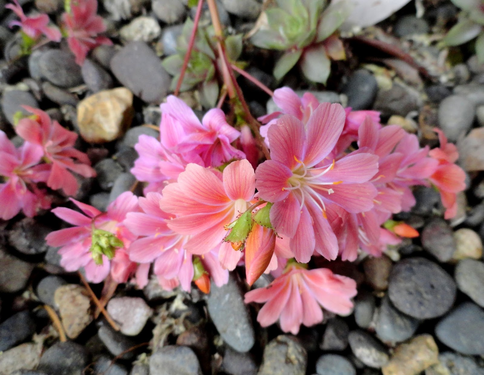 danger garden garden bloggers bloomday for may 2017. Black Bedroom Furniture Sets. Home Design Ideas