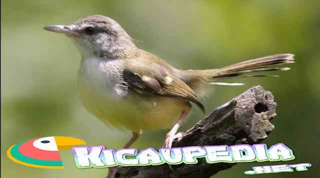 Cara Menjinakan Burung Ciblek Tangkapan Liar
