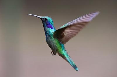 Humming Bird flying in the open sky
