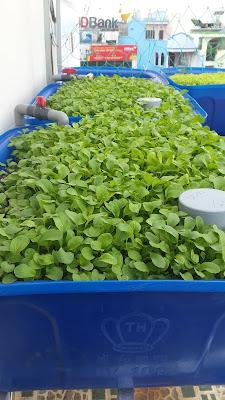lắp đặt hệ trồng rau tự động