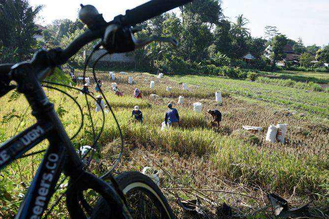 Petani memanen padi di sudut Sleman