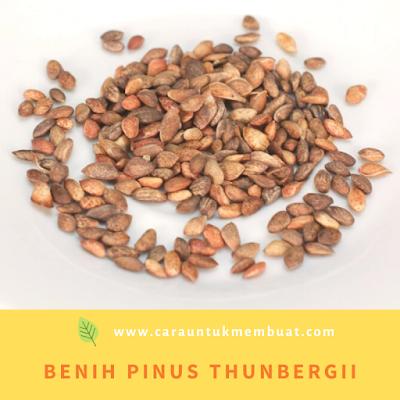 Benih Pinus thunbergii