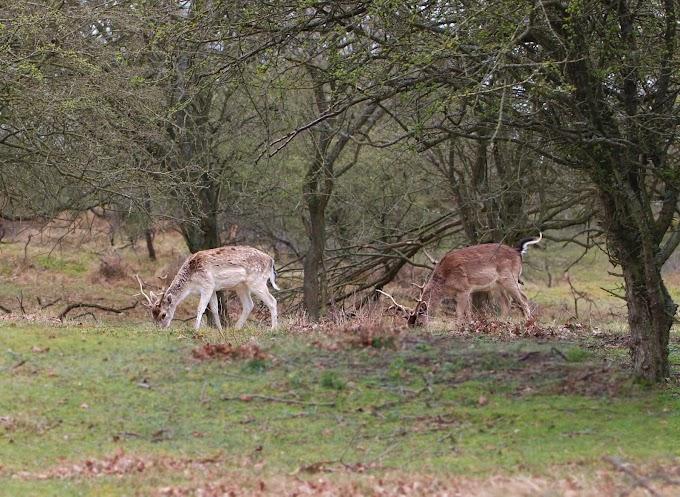 Op safari in eigen land: wilde dieren spotten in de Amsterdamse Waterleidingduinen