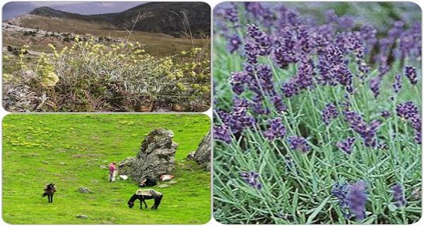 Ελληνικά αρωματικά-φαρμακευτικά φυτά