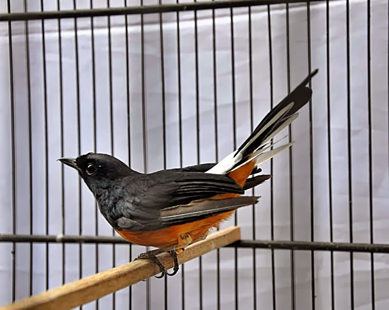 Harga Love Berd Bulan Juni 2013 10 Profil Tokoh Pengusaha Sukses Shafira82 Budidaya Burung Daftar Harga Murai Batu December Januari 2014