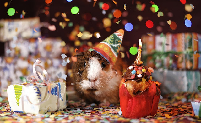 a guinea pig wearing a party hat, with tiny wrapped up presents and lots of confetti