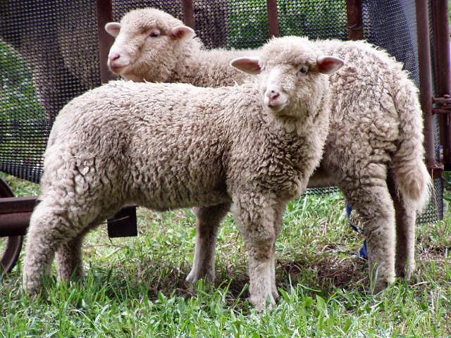 XO reprobate: система органов пищеварения у овец.