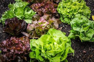 marul-salata