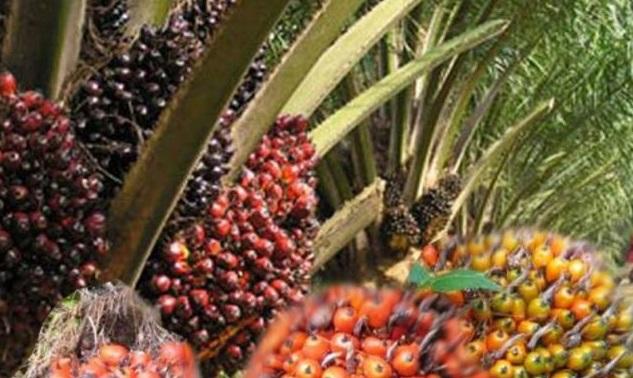 Sosialisasikan Peremajaan Kelapa Sawit, Nagan Raya Target 3.224 Hektare