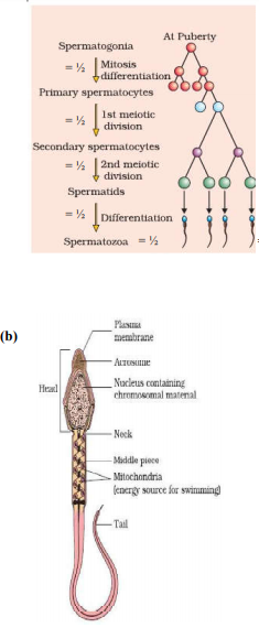 Draw diagram of human sperm and label four parts