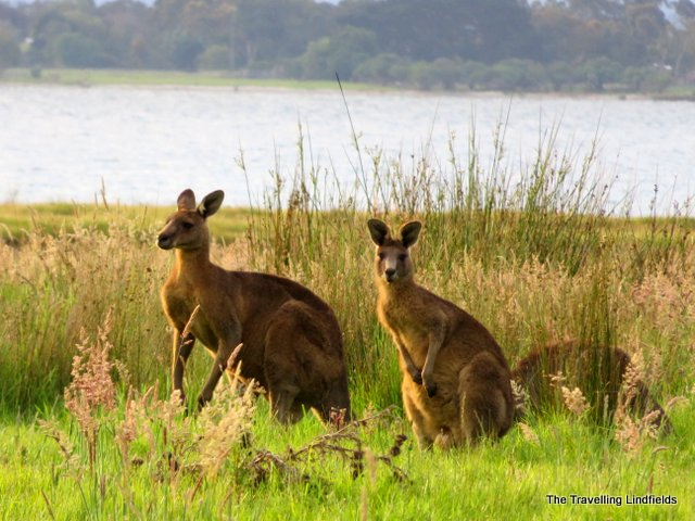 Paynesville kangaroos