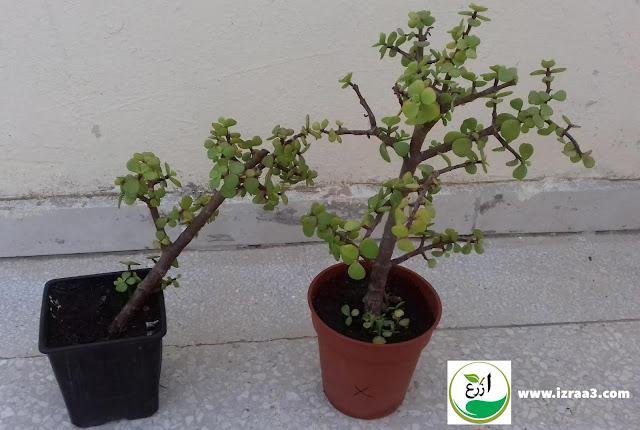 طريقة اكثار نبات دمعة الطفل  Elephante bush