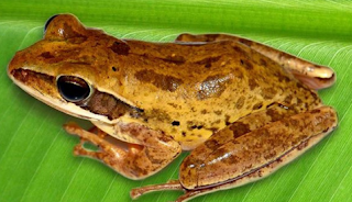 Polypedates bengalensis
