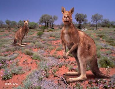 canguros extintos Procoptodon