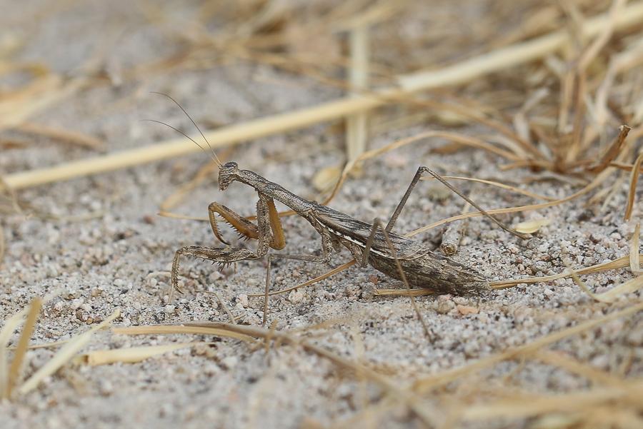 Fairy Mantis Oxyothepis nilotica