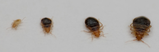 Baby Bed Bug Pictures