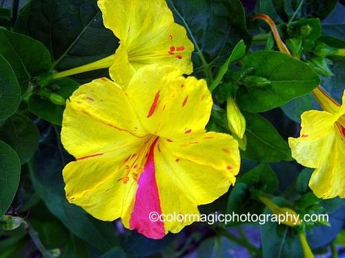 Four-o'clock flower-Mirabilis Jalapa yellow