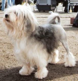 كلب الاسد الصغير