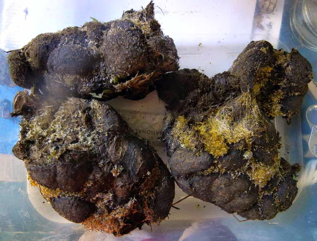 Pilobolus fungus on manure