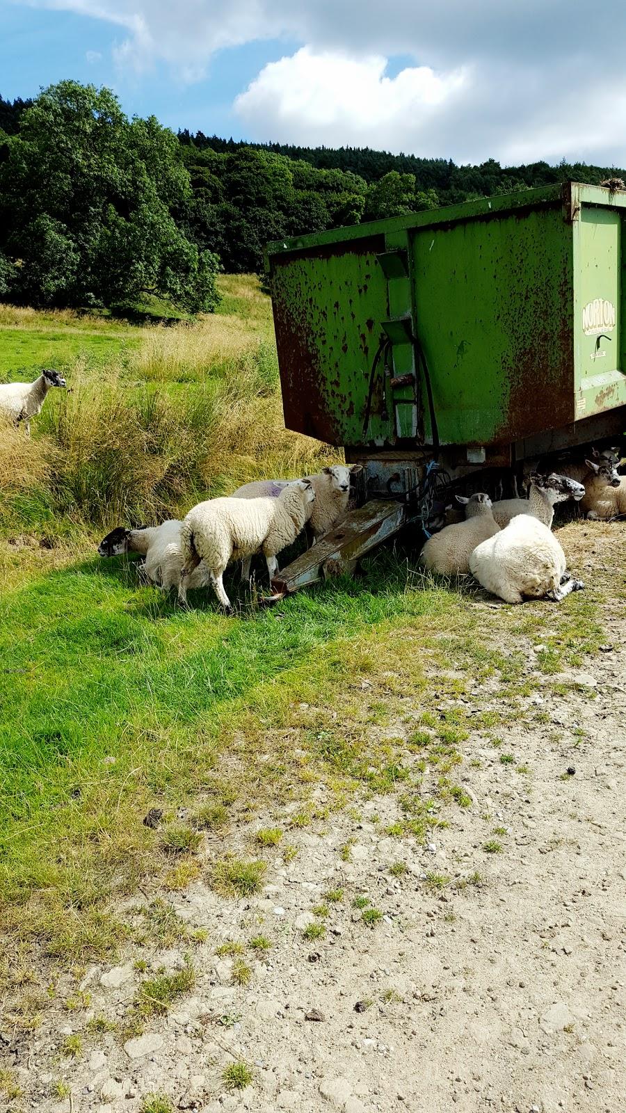 Sheep : Weekend Blog Hop