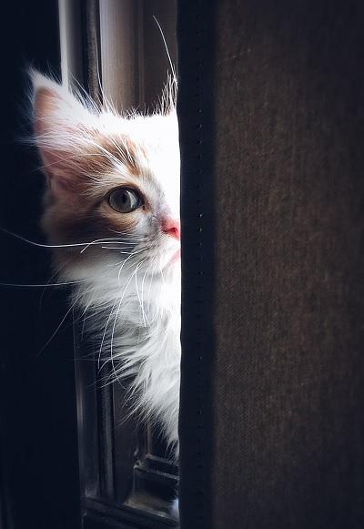 13 Jenis Kucing Populer Menjadi Hewan Peliharaan