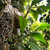 Tumbuhan Sarang Semut,Memiliki  Khasiat Untuk Melawan Kanker