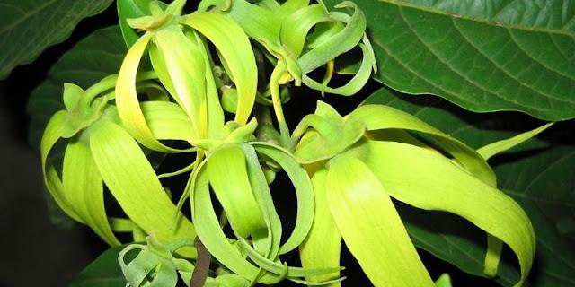 mitos bunga kenanga