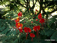 Ohai ali'i, poinciana - Foster Botanical Garden, Honolulu, HI