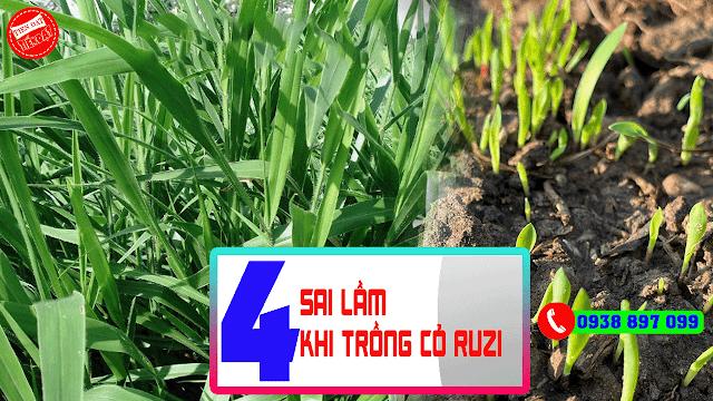 Những lưu ý khi trồng cỏ ruzi