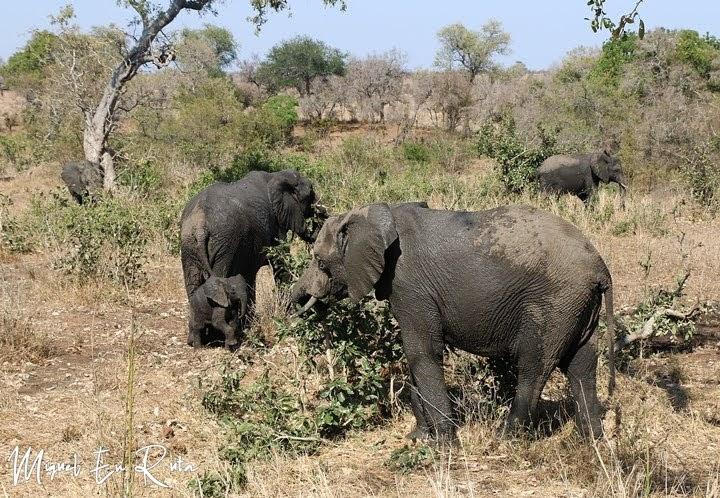 Elefantes en Tshokwane, Kruger