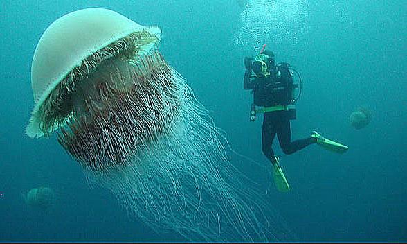 Nomura medusas