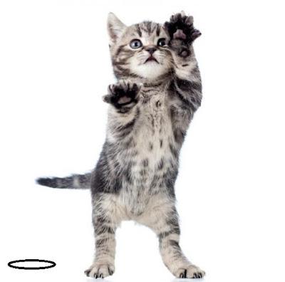 European-Cat European shorthair