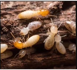 How To Overcome white ant Attack On Rubber Plants