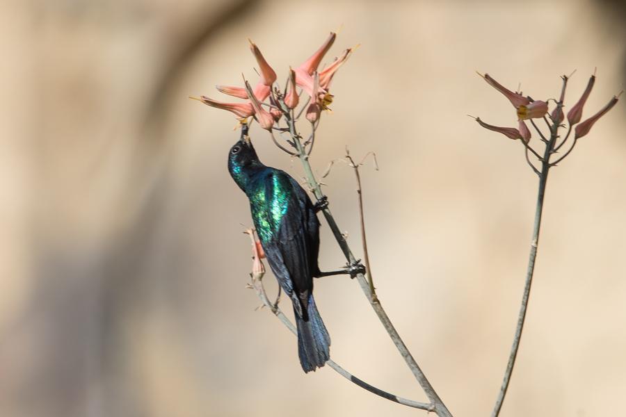Arabian Sunbird