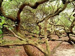 Pohon+Jambu+Mede+Pirangi+Brazil - 10 Pohon Terunik di Dunia