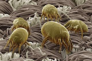 tungau atau dust mites