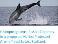 https://sciencythoughts.blogspot.com/2019/09/grampus-griseus-rissos-dolphins-in.html