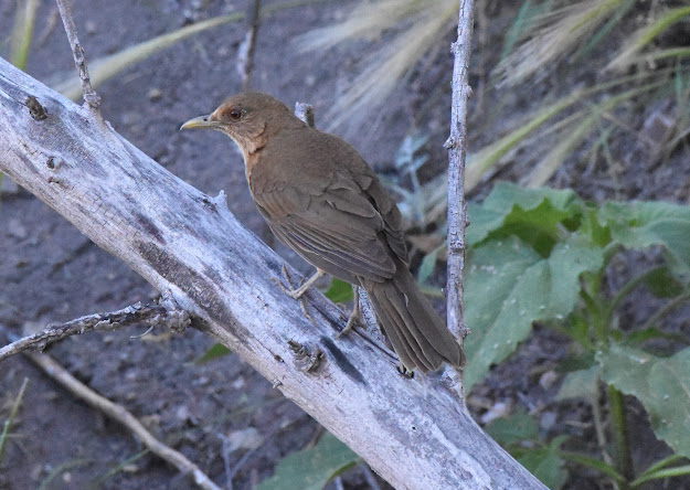 Clay-colored Thrush at Arivaca Cienegas Creek Preserve