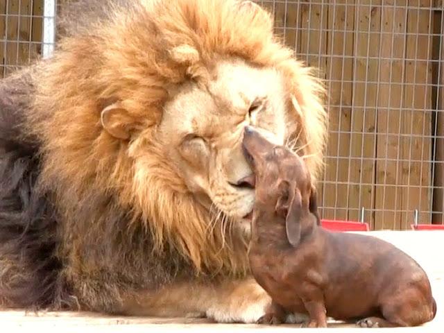 El perro y el León