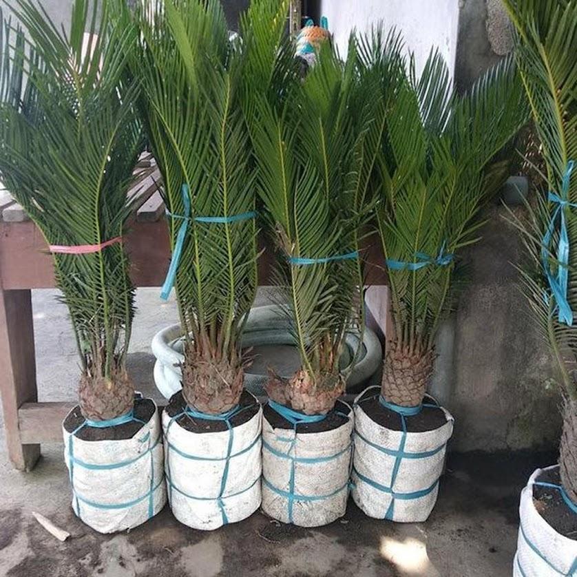 Bibit Palem Sikas Mawar Jambe Besar Kalimantan Barat