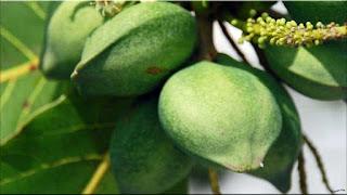 gambar buah ketapang