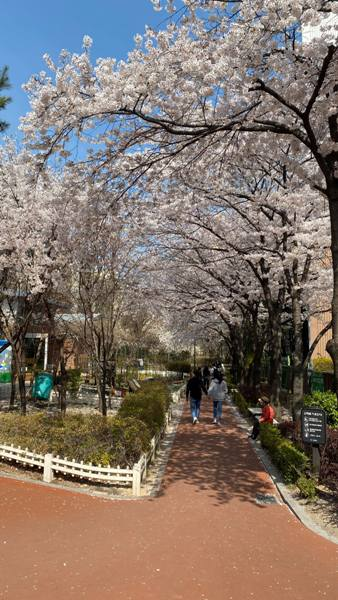 Shansquare Blog: 韓國櫻花2020