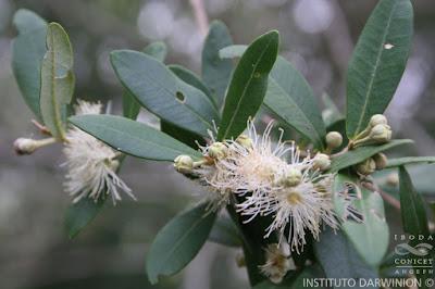 Murta (Myrceugenia glaucescens)