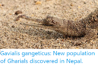 https://sciencythoughts.blogspot.com/2019/11/gavialis-gangeticus-new-population-of.html
