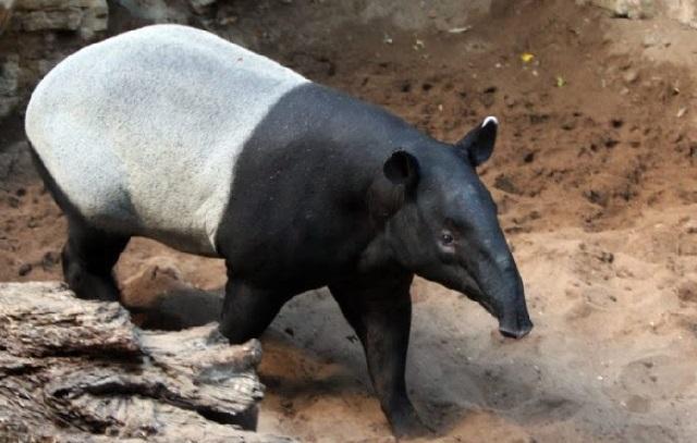 Gambar fauna tapir