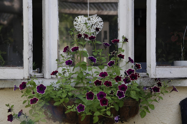 Ivory and Purple Petunia Trailing Variety in Window Box with White Lobelia